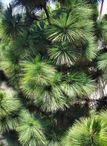 440px-Pine_boughs