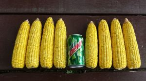 GMO corn - photo courtesy Groth Farms