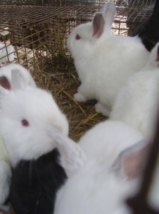 New Zealand cross bunnies - the next generation