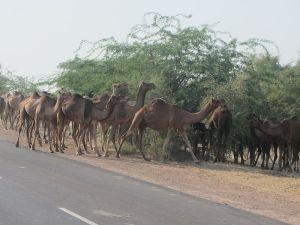 Wild_camels