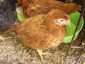 Once feathered out and several weeks old, like this pullet, they can handle cooler temperatures.