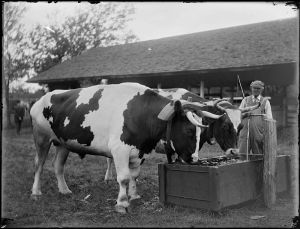 Oxen are a novelty today, with most people never seeing a working pair or even knowing they exist.