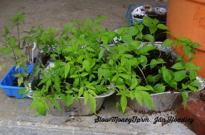 Some of the tomato and pepper seedlings