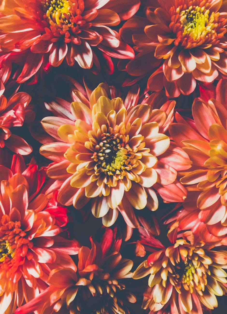 orange chrysanthemum flowers in closeup photo